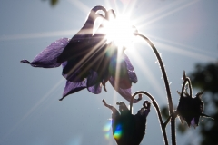 220-modra-kvetina-proti-slunci-hsf-0919
